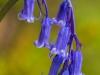 Bluebell - Lochwood Oaks