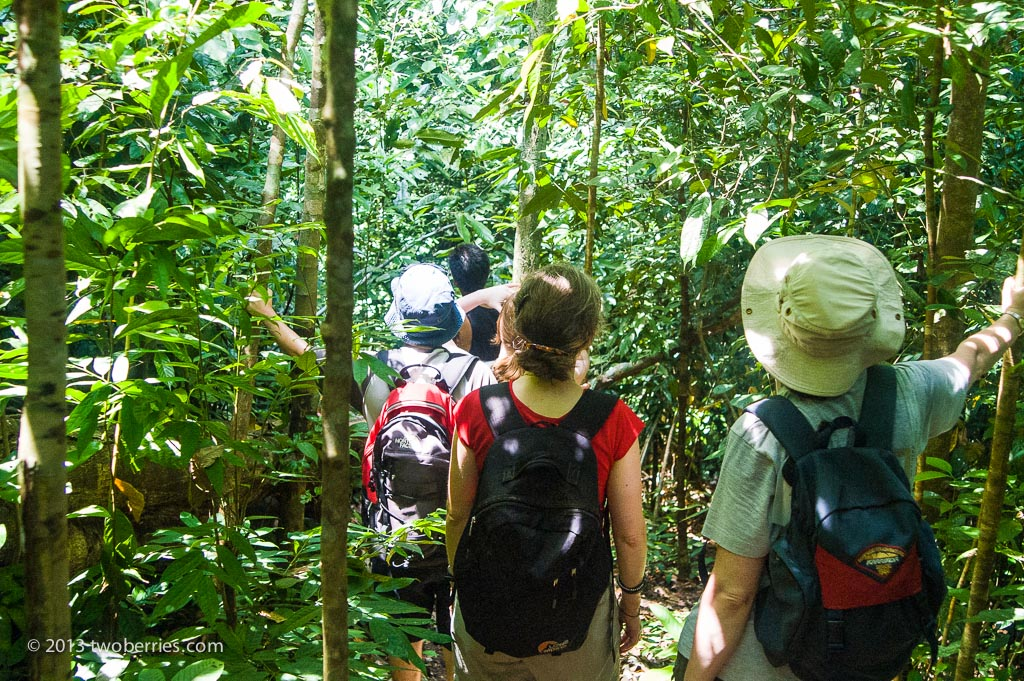 On foot in the rainforest looking for wild Orangutan