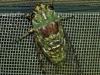 Cicada on the window screen