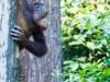 Young Orangutan at the reserve at Sandakan