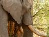 Elephant peeling bark