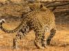 Leopard responds to a bird's alarm call