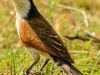 Coppery Tailed Coucal
