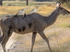 Kudu with red-billed ox-peckers