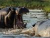 Hippo threat display