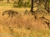 Lion attacks hyena