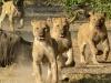 Lion pride charge hyenas