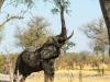 Elephant reaching high