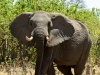 Elephant warns us to keep our distance