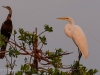 Great Egret and Darter
