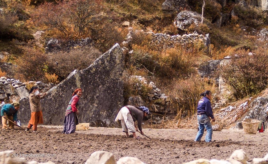 Potato picking in Khunde