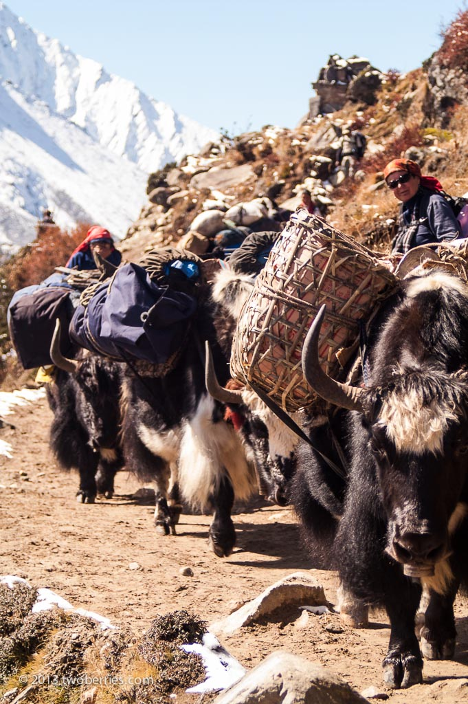 Yaks on the trail