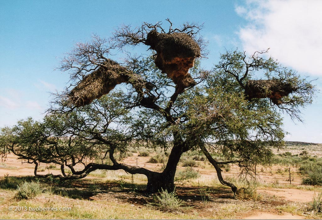 Weaver bird nests in a thorn tree