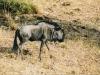 Our forst wildlife - Blue Wildebeest