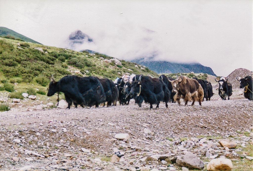 Yak herd on the Lachen La