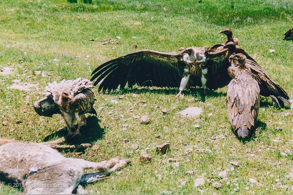 Lammergeier or Bearded Vulture
