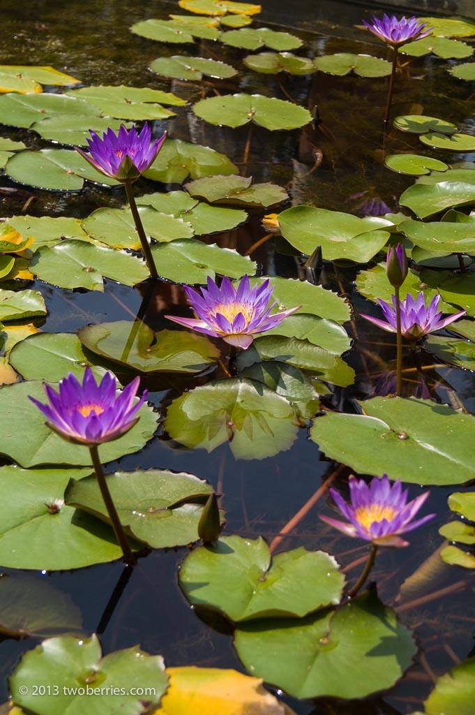 Lotus flowers, Thien Mu